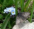 Metaxmeste schrankiana^ Crambidae. - Flickr - gailhampshire.jpg