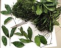 Mfumbwa - Gnetum africanum, leaves detail, bundle.jpg