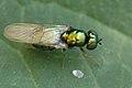 Microchrysa.polita.female.jpg