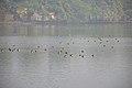Migratory Birds - Santragachi Jheel - Howrah 2017-12-25 5632.JPG