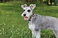 "Miniature Schnauzer on grass, Short Summer Cut (Named ""Fox"" or ""Mr. Sir"").jpg"