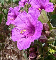 Mirabilis multiflora | Mirabilis glandulosa | Showy 4 O'clock ...