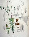 Mnium affine — Flora Batava — Volume v19.jpg