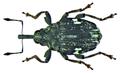 Mogulones asperifoliarum (Gyllenal, 1813) (8487701659).png
