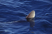 The dorsal fin of a sunfish, sometimes mistaken for that of a shark