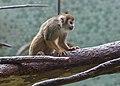 Mono ardilla común (Saimiri sciureus), Tierpark Hellabrunn, Múnich, Alemania, 2012-06-17, DD 01.JPG