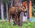 Moose calf (28850164937).jpg