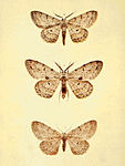 Moths of the British Isles Series2 Plate135.jpg