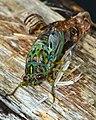 Moulting Cicada (8411854785).jpg
