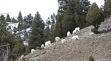 Mountain goat - Wikipedia, the free encyclopedia