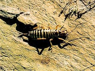 <i>Hemideina maori</i> species of insect