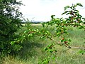 Mulberry-tree - panoramio.jpg