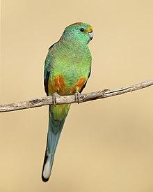 Mulga Parrot male 1 - Patchewollock.jpg
