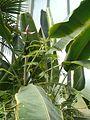 Musa textilis BotGardBln07122011F.JPG