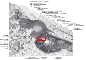 Stapedius muscle - The medial wall and part of the posterior and anterior walls of the right tympanic cavity, lateral view.