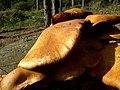 Mushroom (1468295216).jpg