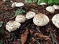 Mushrooms (26879980348).jpg