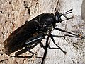 Mydas Fly, Mydas clavatus Asiloidea (38485359211).jpg