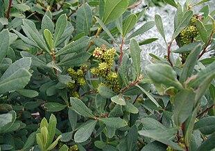 mens hunlige først senere kendes på de gulgrønne frøstande.