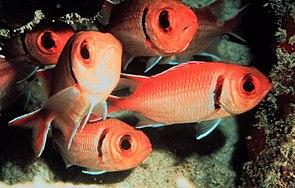 Karibischer Halsband-Soldatenfisch (Myripristis jacobus)