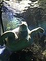 Myrtle the Green Sea Turtle 08.jpg