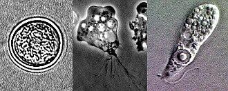 Naegleria fowleri - Biotic phases: cyst, trophozoite, flagellate