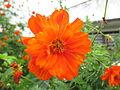 Naranja intenso en los jardines rurales de Buga.JPG