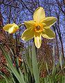 Narcissus20090505 26.jpg