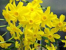 Narcissus jonquilla