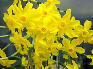 <i>Narcissus jonquilla</i> species of plant