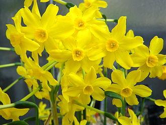 Narcissus jonquilla - Image: Narcissus jonquilla 3