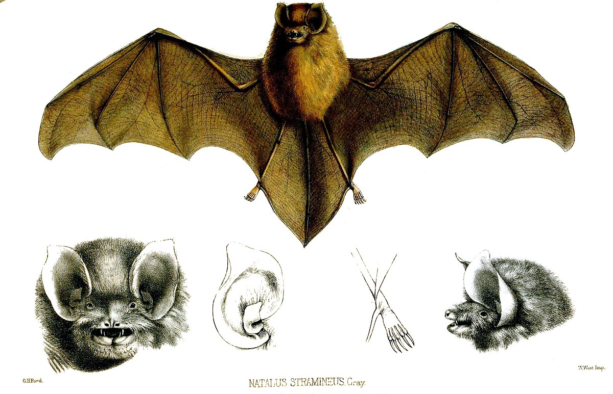 mexican funnel eared bat wikipedia