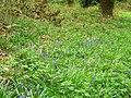 Native bluebells, Breamore Wood - geograph.org.uk - 1279696.jpg