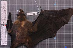 240px naturalis biodiversity center   zma.mam.26150.b dor   rousettus lanosus   skin