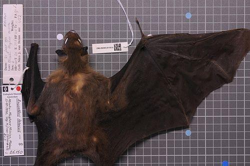 500px naturalis biodiversity center   zma.mam.26150.b dor   rousettus lanosus   skin