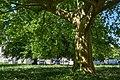 Naturdenkmal Nummer Platane.jpg