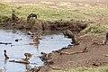Nature of Ngorongoro Conservation Area (109).jpg