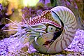 Nautilus by mmar.JPG