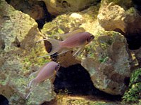 Neolamprologus pulcher (Wroclaw zoo)