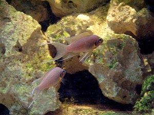 Neolamprologus pulcher - Image: Neolamprologus pulcher (Wroclaw zoo)