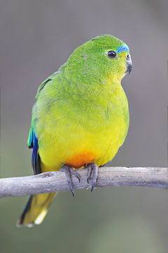 A female Orange-bellied Parrot