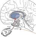 Network that regulates circadian rhythms.jpg