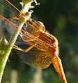 Neurothemis intermedia. male - Flickr - gailhampshire.jpg