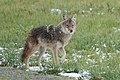Newcomer Coyote at Metzger Farm Open Space, Colorado (48130096537).jpg