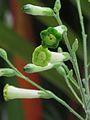 Nicotiana paniculata — Scott Zona 016.jpg