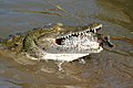 Nile Crocodile (Crocodylus niloticus) trying to swallow a big Tilapia (Oreochromis sp.)... (16658427219).jpg