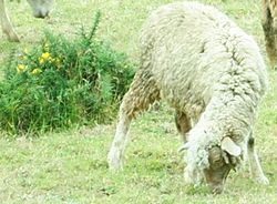 Nilgiri Sheep.jpg