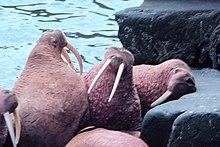 Photo of 5 walruses on rocky shore