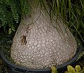 Nolina longifolia 04 ies.jpg