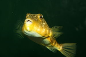 Northern puffer - Image: Northern Puffer in aquarium